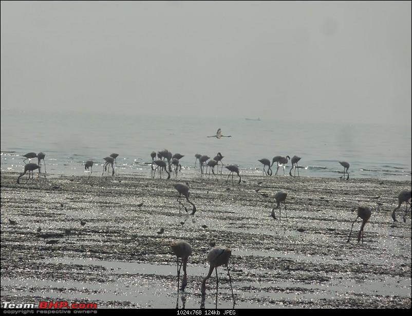 PICS: Flamingoes start flying into Sewri, Mumbai-p1140790-large.jpg