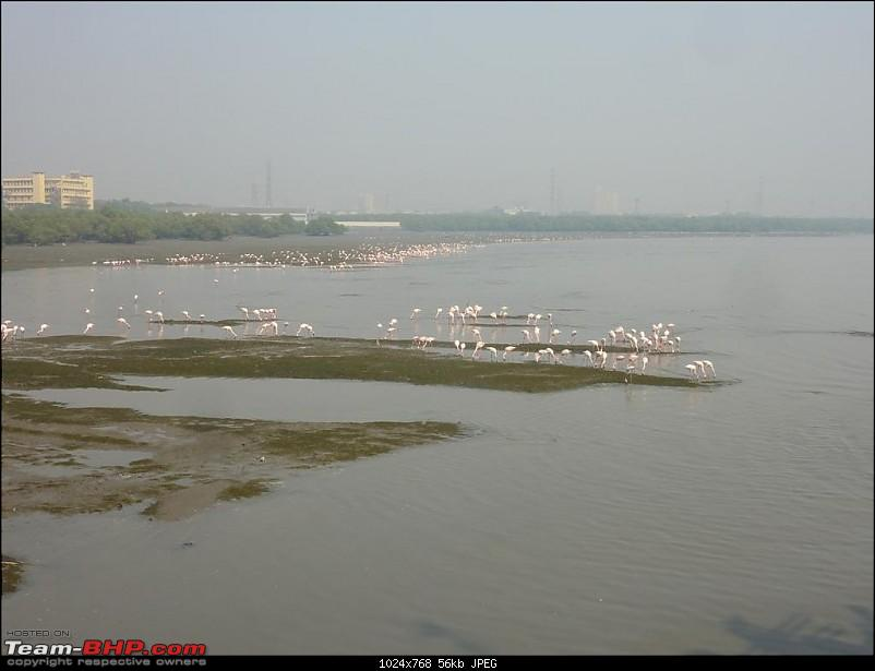 PICS: Flamingoes start flying into Sewri, Mumbai-p1140809-large.jpg