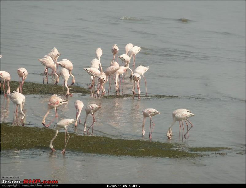 PICS: Flamingoes start flying into Sewri, Mumbai-p1140810-large.jpg
