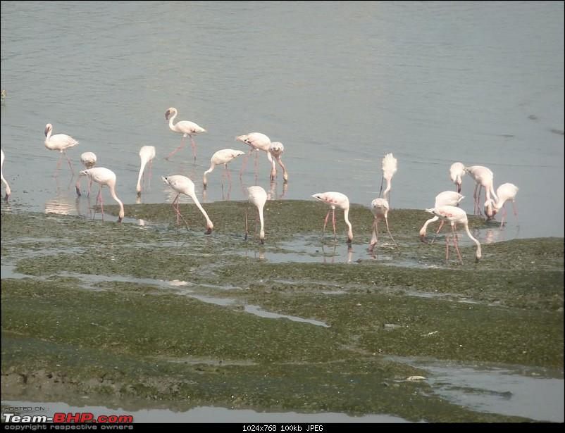 PICS: Flamingoes start flying into Sewri, Mumbai-p1140813-large.jpg
