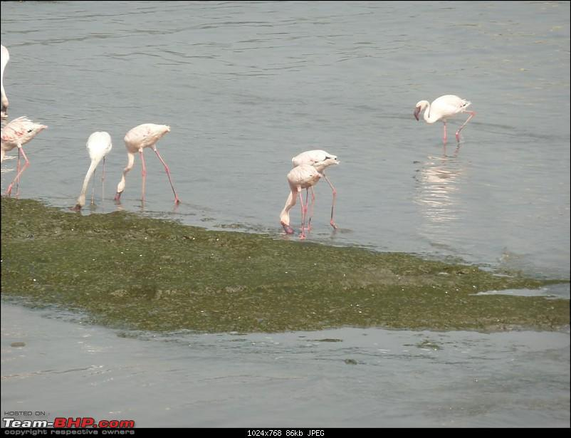 PICS: Flamingoes start flying into Sewri, Mumbai-p1140841-large.jpg