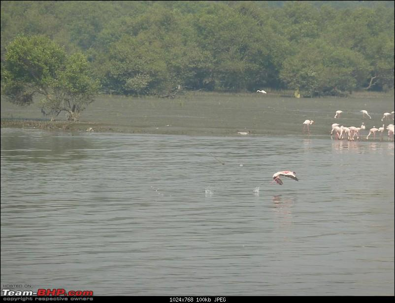 PICS: Flamingoes start flying into Sewri, Mumbai-p1140853-large.jpg
