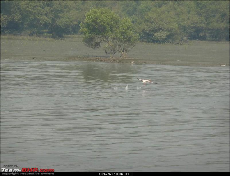 PICS: Flamingoes start flying into Sewri, Mumbai-p1140855-large.jpg