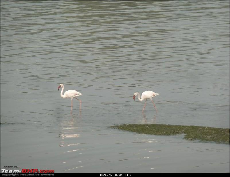 PICS: Flamingoes start flying into Sewri, Mumbai-p1140858-large.jpg