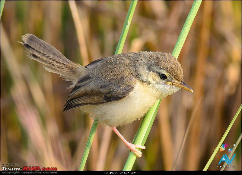 My Birding experiences around Chennai-plain-prinia-.jpg
