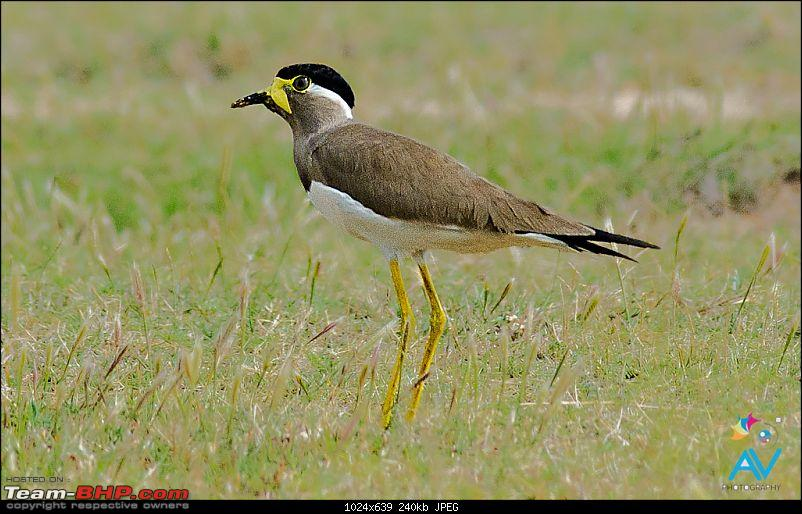 My Birding experiences around Chennai-ywl.jpg