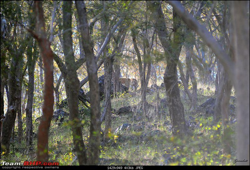 Gurgaon - Sariska - Gurgaon - Phew...Finally sighted one of the Tiger Cubs of ST2-7790.jpg