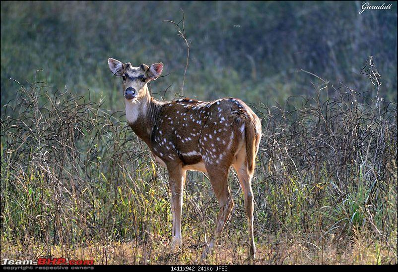 Gurgaon - Sariska - Gurgaon - Phew...Finally sighted one of the Tiger Cubs of ST2-0532.jpg