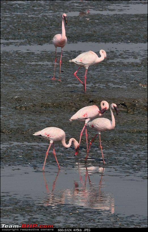 Flamingo watching at Sewri-Mumbai-dsc_0221.jpg