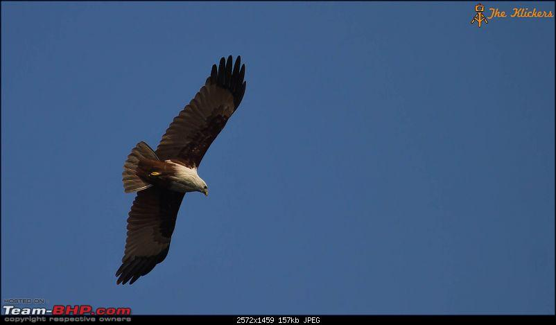 Birding at its best. EDIT: December 2015 updates!-brahmini-kite.jpg