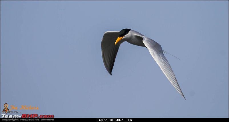 Birding at its best. EDIT: December 2015 updates!-indian-river-tern.jpg