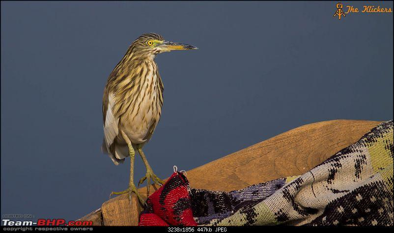 Birding at its best. EDIT: December 2015 updates!-pond-heron-2.jpg