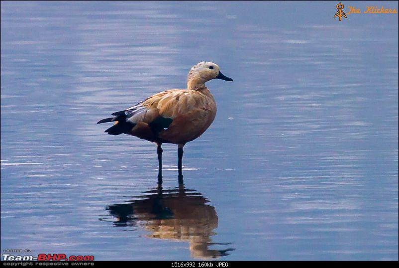 Birding at its best. EDIT: December 2015 updates!-shell-duck.jpg