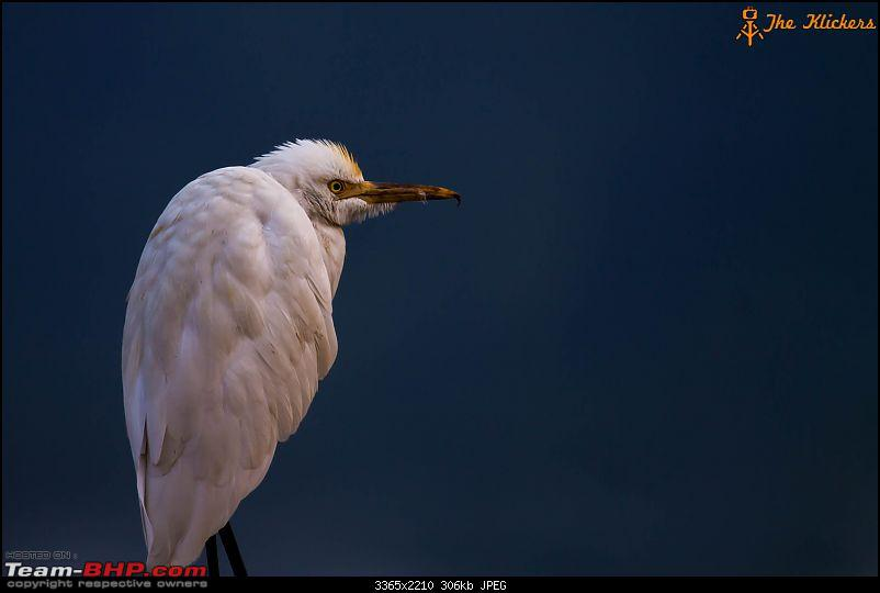 Birding at its best. EDIT: December 2015 updates!-snowy-egret.jpg
