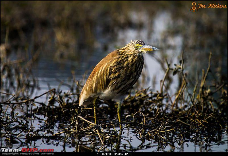 Birding at its best. EDIT: December 2015 updates!-pond-heron-1.jpg