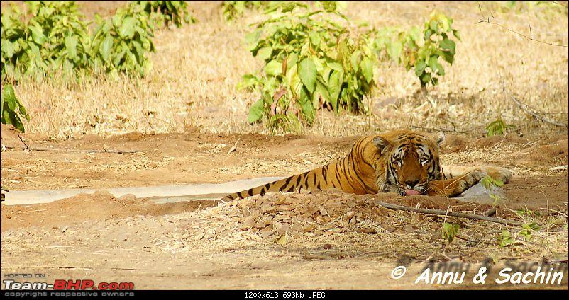 Crouching Tiger, Unaware prey - Hunt and Kill: TATR - Awesome, Incredible, Amazing!!-dsc07779.jpg