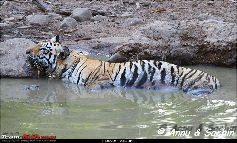Crouching Tiger, Unaware prey - Hunt and Kill: TATR - Awesome, Incredible, Amazing!!-img_7226.jpg
