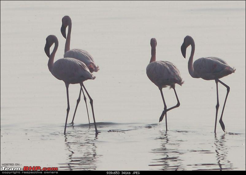 PICS: Flamingoes start flying into Sewri, Mumbai-img_4087_cropa.jpg