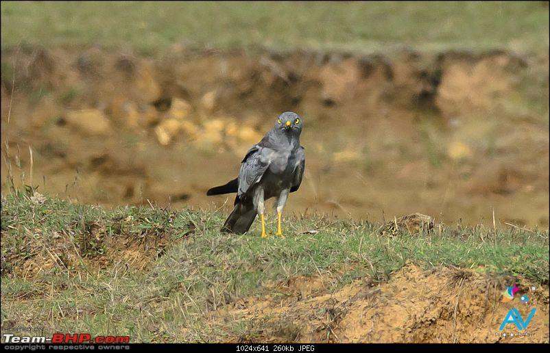 My Birding experiences around Chennai-mh.jpg