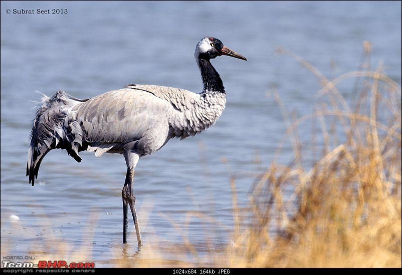 Amazing Mud Desert - Little Rann of Kutch. A Photologue-common_crane_lrk_2013-copy.jpg