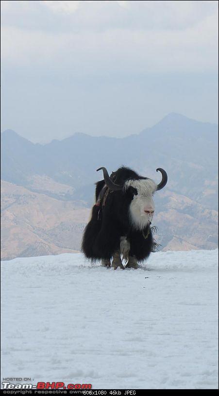 Mount Abu -> Delhi -> Shimla-9-kufri-yak.jpg