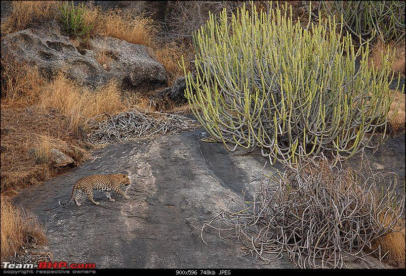 Leopards from Bera & Tigers from Tadoba : A Photologue-_dsm4677v1rs.jpg