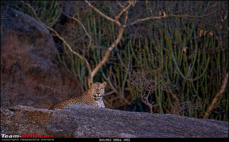 Leopards from Bera & Tigers from Tadoba : A Photologue-_dsm4788rs.jpg