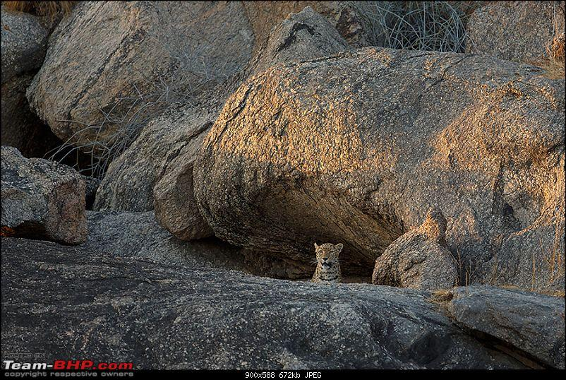 Leopards from Bera & Tigers from Tadoba : A Photologue-_dsm4878rs.jpg