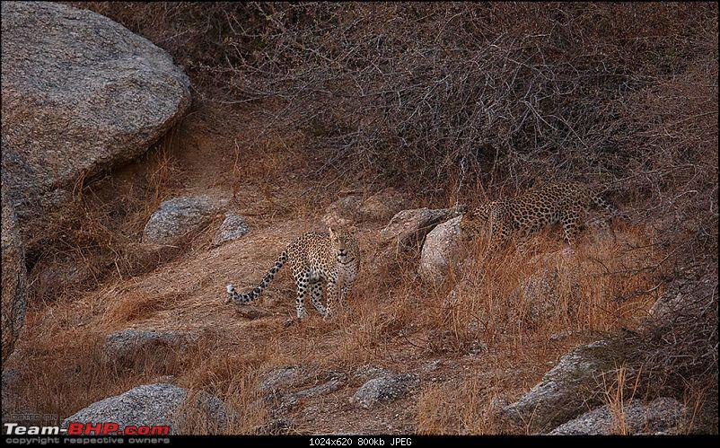 Leopards from Bera & Tigers from Tadoba : A Photologue-_dsm4950.jpg