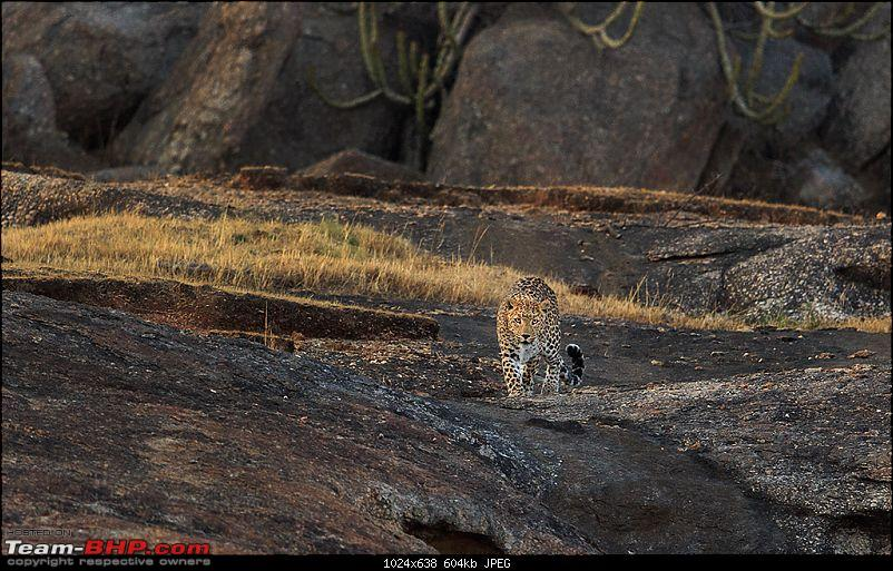 Leopards from Bera & Tigers from Tadoba : A Photologue-_dsm5137.jpg