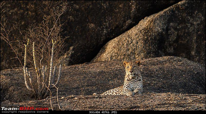 Leopards from Bera & Tigers from Tadoba : A Photologue-_m1d5645.jpg