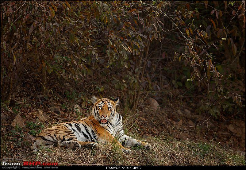 Leopards from Bera & Tigers from Tadoba : A Photologue-_dsm5582.jpg