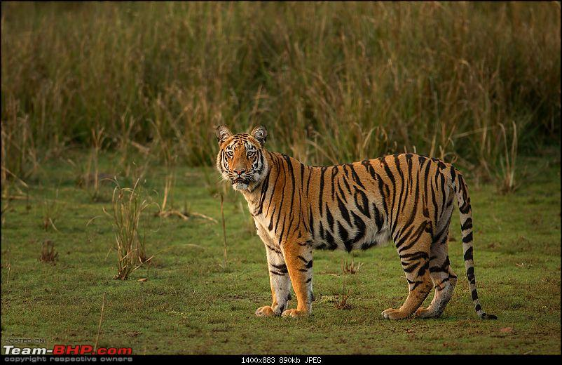 Leopards from Bera & Tigers from Tadoba : A Photologue-_dsm6052.jpg