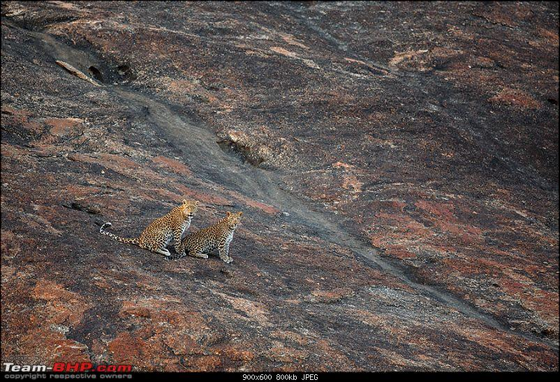 Leopards from Bera & Tigers from Tadoba : A Photologue-_dsm5218.jpg