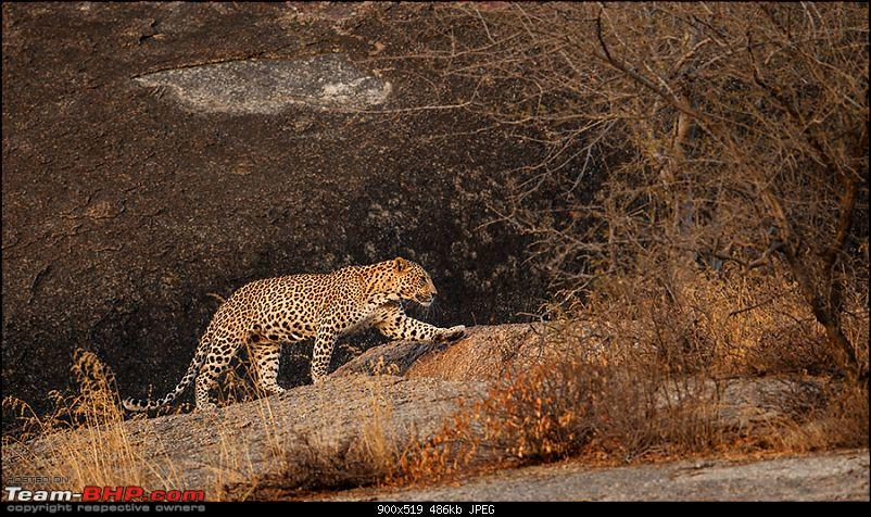 Leopards from Bera & Tigers from Tadoba : A Photologue-_m1d5572.jpg