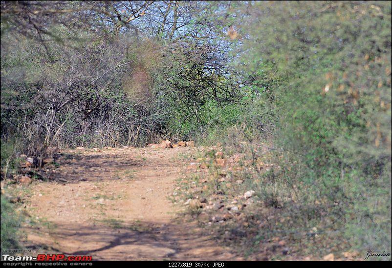 Gurgaon - Sariska - Gurgaon - Phew...Finally sighted one of the Tiger Cubs of ST2-947.jpg