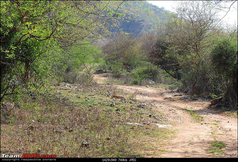 Gurgaon - Sariska - Gurgaon - Phew...Finally sighted one of the Tiger Cubs of ST2-8014.jpg