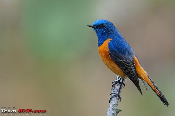 Name:  Raw 44 Puri Borong_redstart.jpg