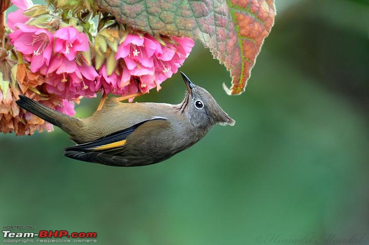 Name:  Raw 44 Puri Borong DSC_3372 Striped Throated Yuhina.jpg