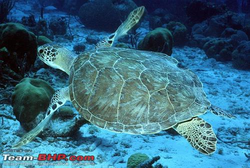 Name:  Olive Ridley Turtle5.jpg Views: 12068 Size:  46.2 KB