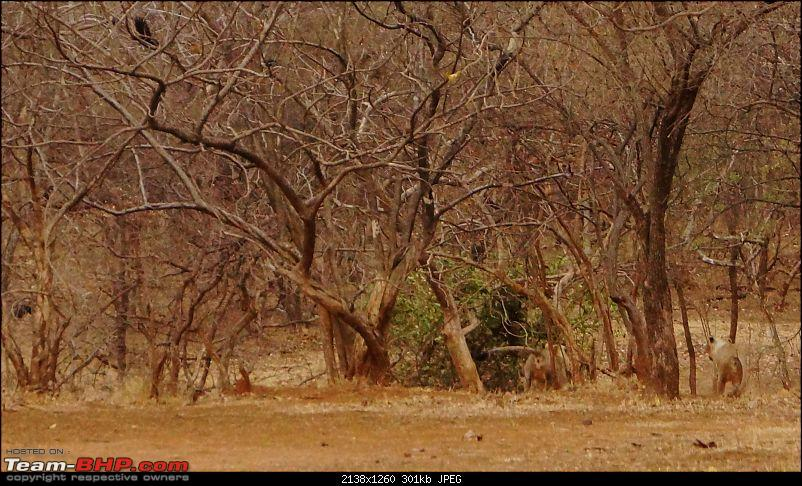 Hawk-On-Fours® (H-4®) Roadtrip: Reminiscences of Gir Forest-feed-2k300.jpg
