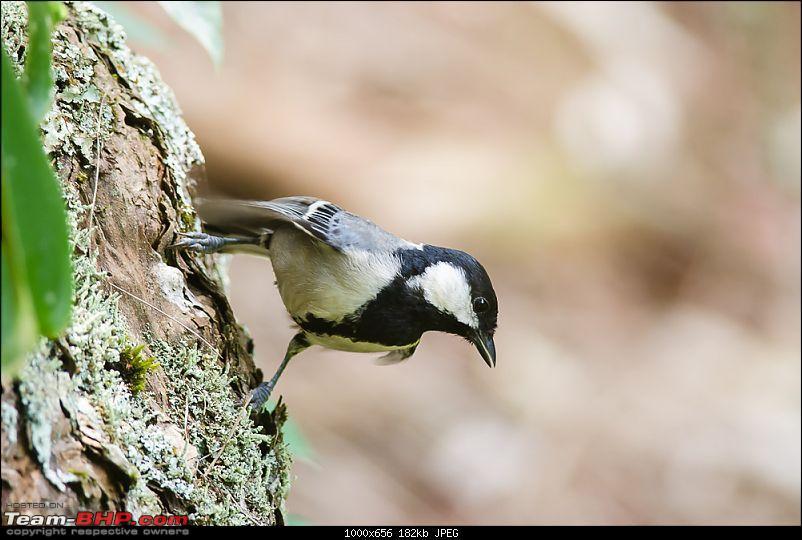 Birding @ Ooty-great-tit.jpg