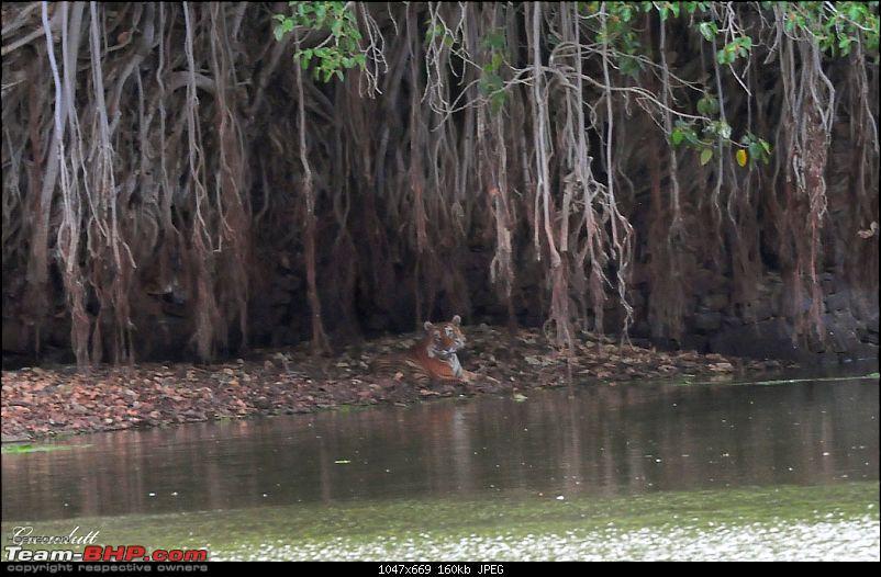 Gurgaon - Ranthambhore - Jodhpur - Gurgaon: Big Cats call again..!-8349.jpg