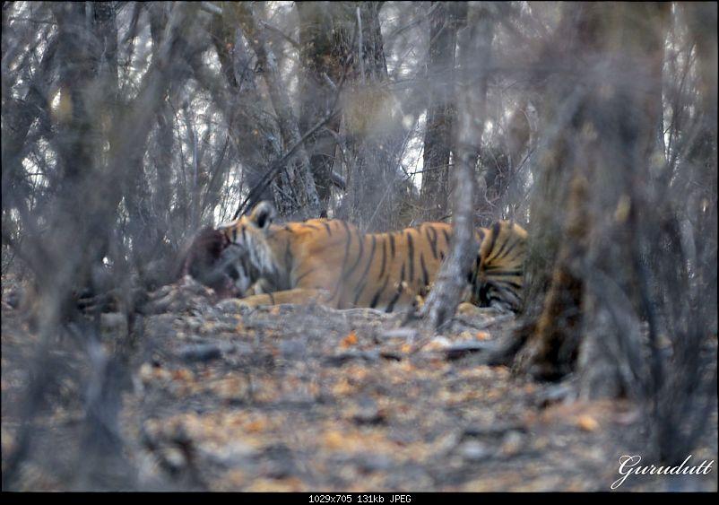 Gurgaon - Ranthambhore - Jodhpur - Gurgaon: Big Cats call again..!-1306.jpg
