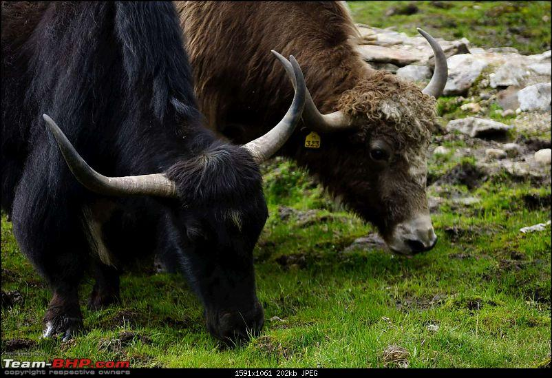 Roadtrip to The Middle of Nowhere... Monyul (Tawang) and More-yak3.jpg