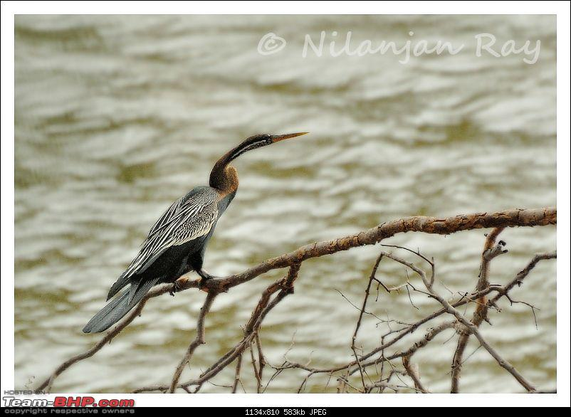 Quick dash to the jungles of Galibore...on the banks of Cauvery-snakebird.jpg