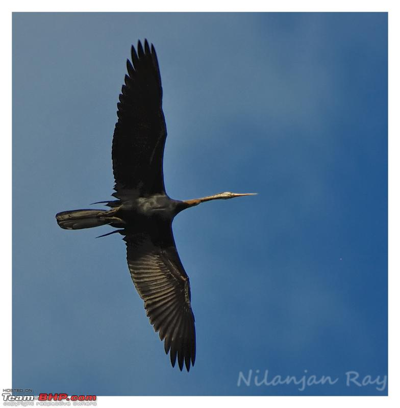 Name:  Flying snakebird  Copy.jpg