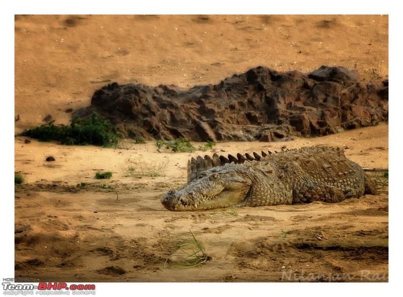 Name:  Cauvery croc  Copy.jpg Views: 1396 Size:  576.7 KB