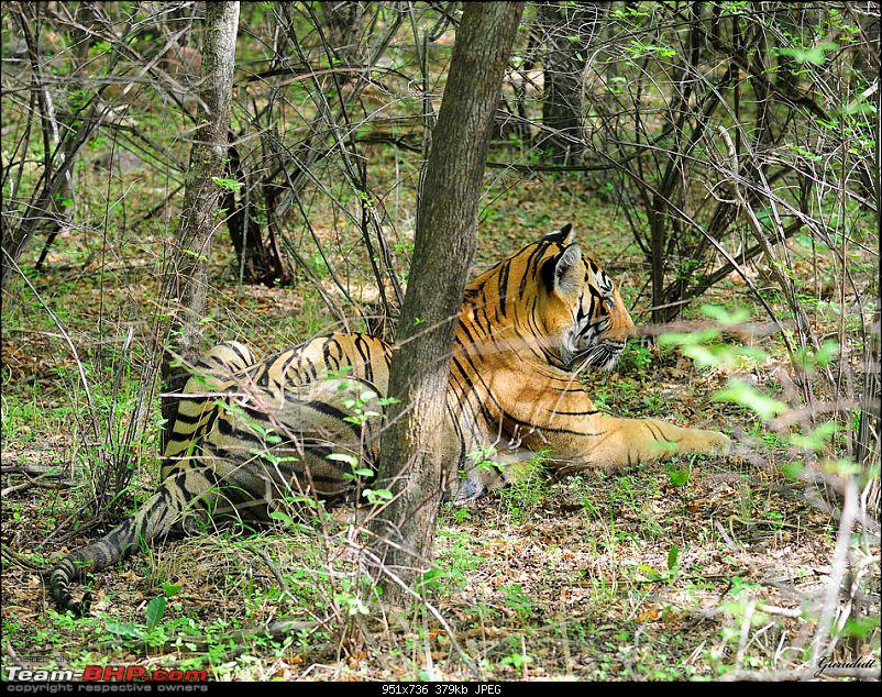 Gurgaon - Ranthambhore - Jodhpur - Gurgaon: Big Cats call again..!-8743.jpg