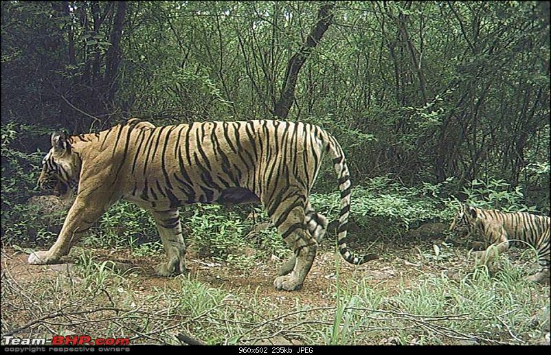 Gurgaon - Ranthambhore - Jodhpur - Gurgaon: Big Cats call again..!-t26.jpg